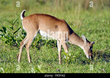 Pampas deer in the Pantanal South - Stock Photo