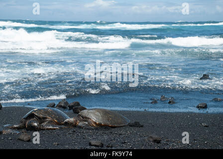 Green sea turtles on black sand beach (Punalu'u Beach) Hawaii, United States - Stock Photo