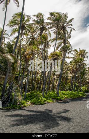 Palm trees blowing in wind on Punalu'u beach, (Black Sand Beach) Hawaii, United States - Stock Photo