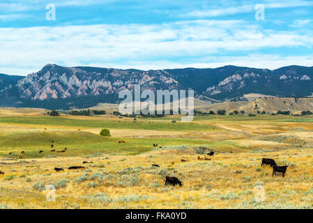 Cows grazing in fields with the foothills to the Bighorn Mountains behind them near Buffalo, Wyoming - Stock Photo