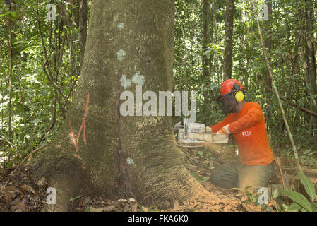 Chainsaw operator cutting tree Jatoba - Stock Photo