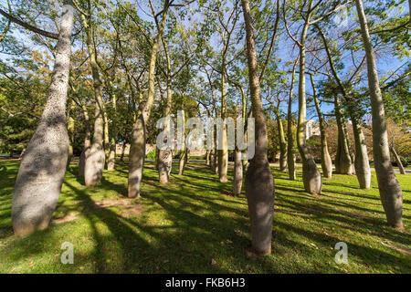 Bottle trees Ceiba speciosa palo borin Jardines Turia Gardens Park Valencia. - Stock Photo