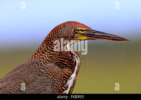 Rufescent Tiger Heron, young portrait, Pantanal, Mato Grosso, Brazil, South America / (Tigrisoma lineatum) - Stock Photo
