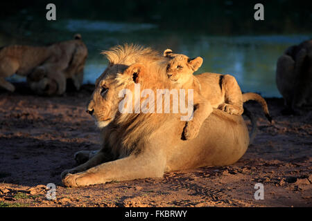Lion, young four month old with brother five year old at water, siblings, social bebaviour, Tswalu Game Reserve, - Stock Photo