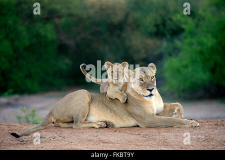 Lion, adult female with young restin, social behaviour, Tswalu Game Reserve, Kalahari, Northern Cape, South Africa, - Stock Photo