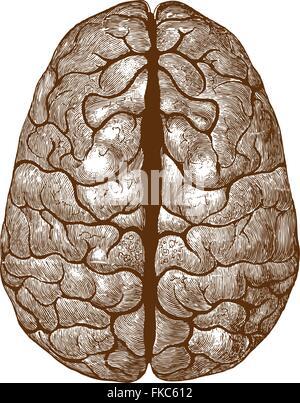 Human brain colorized vintage illustration - Stock Photo