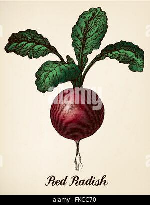 Red radish colorized vintage vector illustration - Stock Photo