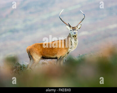 Young red deer stag - Stock Photo
