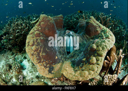 Giant clam (Tridacna gigas) in the reef. - Stock Photo