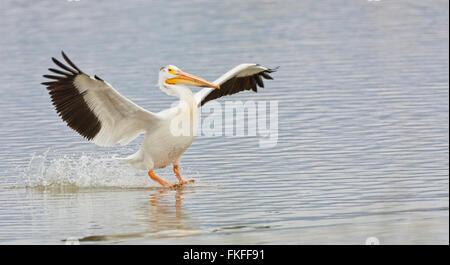 American White Pelican landing on water at Bear River Migratory Bird Refuge, Utah in spring - Stock Photo