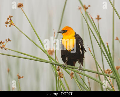 Male Yellow-headed Blackbird perched on cattails in a freshwater marsh, its preferred habitat. Bear River Migratory - Stock Photo