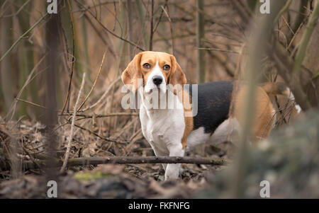 Beagle dog in forest portrait - Stock Photo