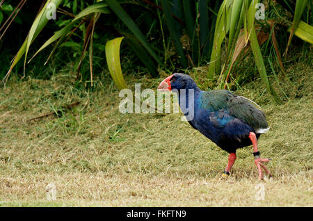 Takahe, a once believed to be extinct flightless bird native to only New Zealand, in Tawharanui Open Sanctuary conservation - Stock Photo