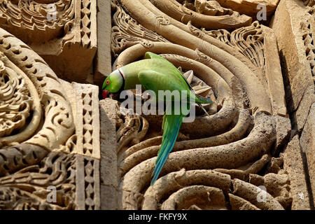 Indian Rose-ringed Parakeet (Psittacula krameri) finds a perch at the intricate carving in red sandstone at the - Stock Photo