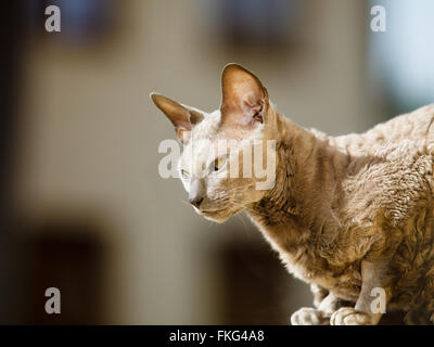 Animals at home. egyptian mau cat sitting on the balcony outdoor - Stock Photo
