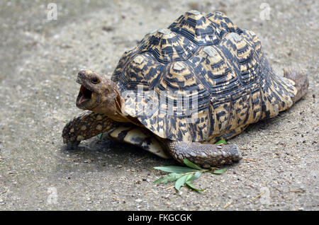 Leopard tortoise (Geochelone pardalis)  large and attractively marked tortoise found in the savannas of Eastern - Stock Photo