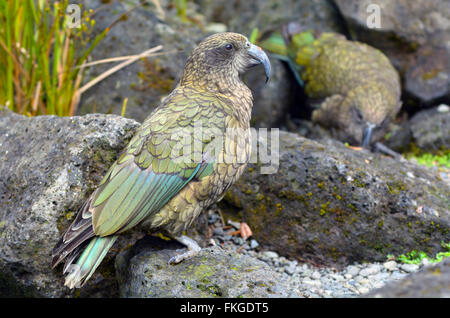 Kea (Nestor notabilis) the world's only mountain parrot native to New Zealand. - Stock Photo