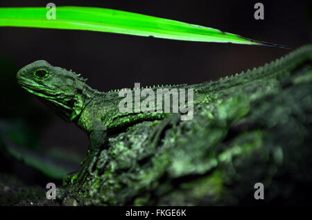 Tuatara (Sphenodon punctatus) sit on a tree branch in rainforest. The reptiles endemic to New Zealand. - Stock Photo
