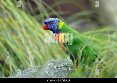 Rainbow lorikeet  (Trichoglossus moluccanus) is a species of parrot found in Australia. - Stock Photo
