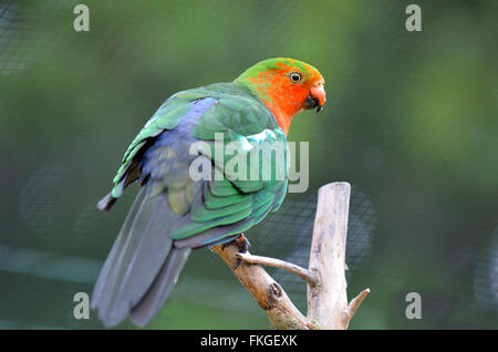 Male Australian king parrot (Alisterus scapularis) sit on a tree.It inhabit dense sub-tropical rainforests and can - Stock Photo
