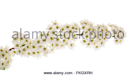 Hawthorn (Crataegus monogyna) branch with flowers isolated on a white background - Stock Photo