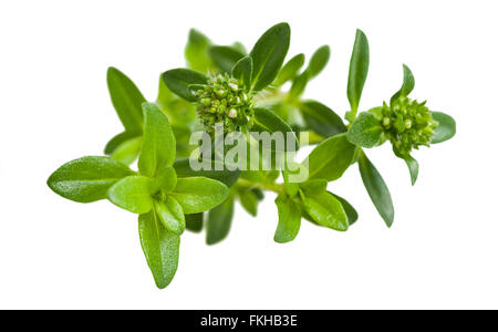 Summer savory branch isolated on white - Stock Photo