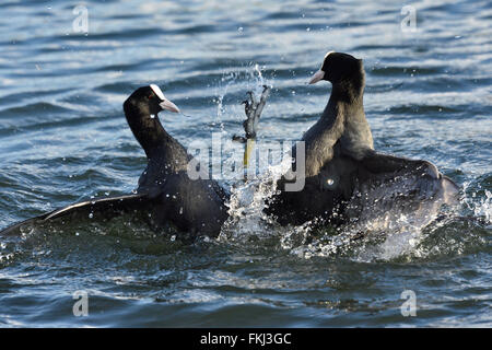 Two coots fighting in a lake. - Stock Photo