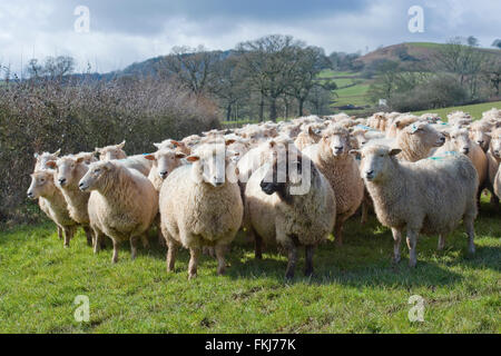 flock of sheep close up - Stock Photo