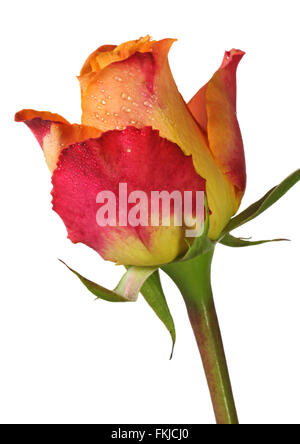 Red and Yellow Rose - Stock Photo