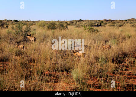 African Wild Dog, group hunting, pack running, Tswalu Game Reserve, Kalahari, Northern Cape, South Africa, Africa - Stock Photo