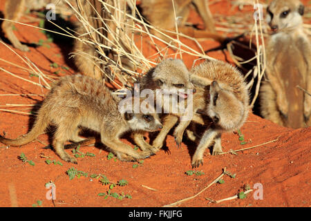 Suricate, youngs playing in morning sun, social behaviour, Tswalu Game Reserve, Kalahari, Northern Cape, South Africa, Africa / Stock Photo