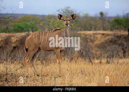 Greater Kudu, adult female, Kruger Nationalpark, South Africa, Africa / (Tragelaphus strepsiceros) - Stock Photo