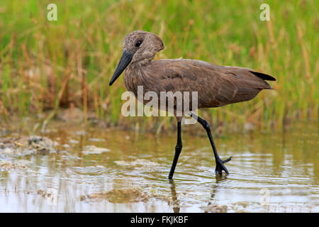 Hammerkop, adult in water searching for food, Kruger Nationalpark, South Africa, Africa / (Scopus umbretta) - Stock Photo