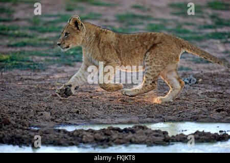 Lion, young four month old walking, Tswalu Game Reserve, Kalahari, Northern Cape, South Africa, Africa / (Panthera - Stock Photo