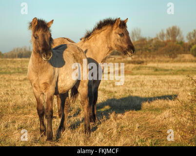 Young Konik horses ( or Polish primitive horse), in nature reserve,  Wassenaar, South Holland, The Netherlands. - Stock Photo