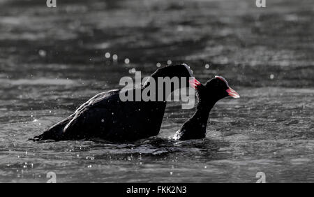 Male adult coots in a territory fight during the mating season. One biting the others neck. - Stock Photo