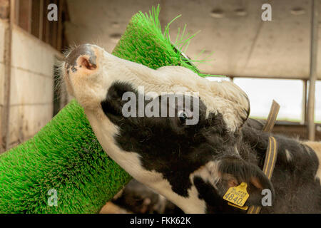 Friesian cow suffering from itch due to loss of hair and rubbing her coat against a rotating brush, South Holland, - Stock Photo