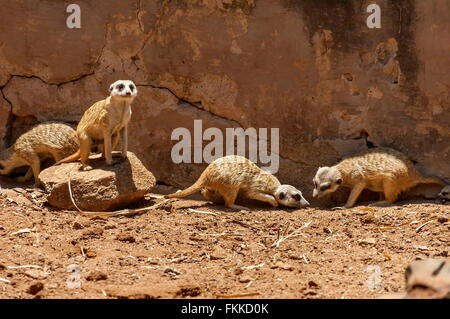 Suricate/Meerkat in Kwena Garden, Sun City, South Africa - Stock Photo