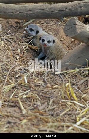 Sibling meerkat or suricate (Suricata suricatta)pups at The Giraffe House Wildlife Awareness centre, South Africa. - Stock Photo