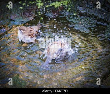 House sparrows bathing in English garden stream - Stock Photo