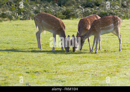Three Fallow deer grazing on grass - Stock Photo