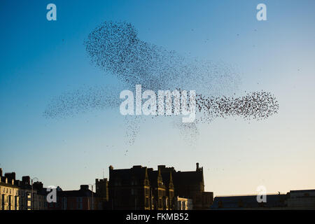 Aberystwyth, Wales, UK. 9th March, 2016.   UK weather: As the sun sets, flocks of thousands of tiny starlings fly - Stock Photo