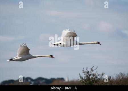 Two mute swans (Cygnus olor) in flight at Lymington - Keyhaven Nature Reserve in Hampshire, England - Stock Photo