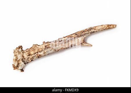 Shed antler of roe deer showing teeth marks and gnawed upon by mice, squirrels and other rodents for minerals and nutrients