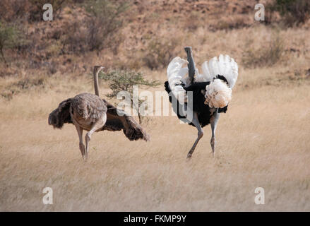 Male and Female Somali Ostrich (Struthio camelus molybdophanes) displaying courtship behaviour, Samburu, Kenya, - Stock Photo