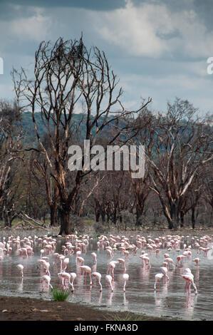 Flock of Lesser Flamingos (Phoeniconaias minor) on Lake Nakuru, Lake Nakuru National Park, Kenya, East Africa - Stock Photo