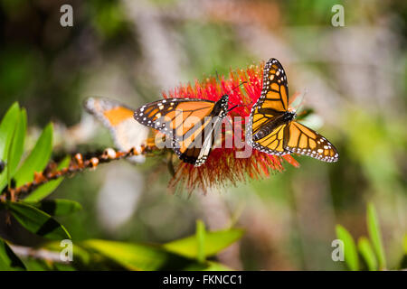 Monarch butterflies (Danaus plexippus) on red bush along the california coast in Big Sur, USA - Stock Photo