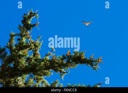 Many Monarch butterflies (Danaus plexippus) gathered on a tree along the california coast in Big Sur, USA - Stock Photo