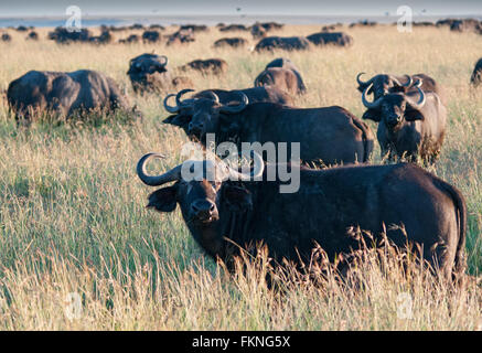Herd of Cape Buffalo (Syncerus caffer), Masai Mara National Reserve, Kenya, East Africa - Stock Photo