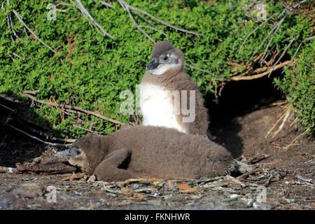 Jackass Penguin, African penguin, youngs, Boulders Beach, Simonstown, Western Cape, South Africa, Africa / (Spheniscus - Stock Photo
